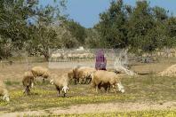 campagne;champs;djerba;ile;jerba;midoun;mouton;femme;costume;tradition;