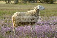campagne;champs;djerba;ile;jerba;midoun;mouton;