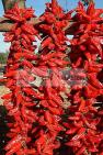 agriculture;campagne;�pice;piment;piment;rouge;harrissa;paysan;